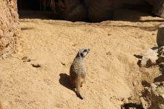 Klein huisdier op het zand stock afbeelding