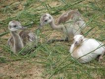 Klein jong struisvogelkuiken Royalty-vrije Stock Afbeelding