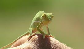 Klein Kameleon Stock Foto's