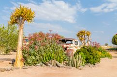 Klein Karas, Namibia - July 11 2014: Quiver trees growing in between abandoned classic car in garden of Canon Roadhouse.  royalty free stock images