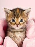 Klein katje dat in roze banket wordt verpakt Stock Foto's
