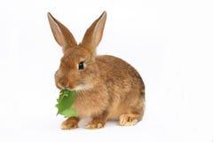 Klein konijn Royalty-vrije Stock Afbeelding