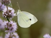 Klein-koolwitje, kleines Weiß, Pieris rapae stockfotografie