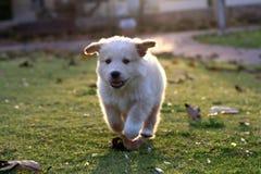 Klein Labrador Stock Afbeelding