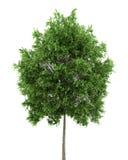 Klein-leaved Limettenbaum getrennt auf Weiß stock abbildung