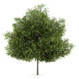 Klein-leaved Limettenbaum getrennt auf Weiß lizenzfreie abbildung