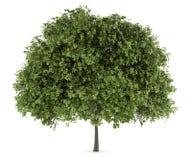 Klein-leaved Limettenbaum getrennt auf Weiß vektor abbildung