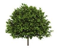 Klein-leaved Limettenbaum lokalisiert auf Weiß vektor abbildung