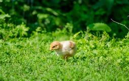 Klein leuk babykuiken in het gras Stock Foto