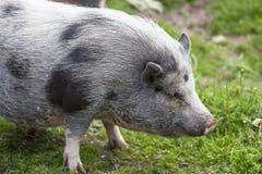 Klein leuk grijs varken in de dierentuin Stock Afbeelding
