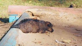 Klein, mollig puppy die op het zand liggen stock video