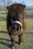 Klein Paard Royalty-vrije Stock Afbeelding