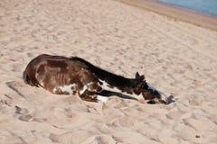 Klein paard op strand het spelen op zand Stock Fotografie