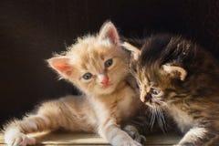 Klein pluizig het spelen twee katje in de zonnestralen stock afbeeldingen