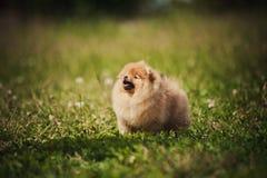 Klein Pomeranian-puppy Stock Foto's