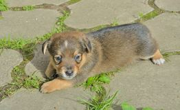 Klein puppy Royalty-vrije Stock Afbeeldingen