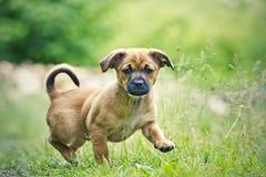 Klein puppy Stock Afbeeldingen
