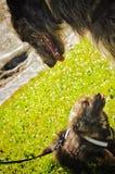 Klein puppy en grote hond Stock Fotografie