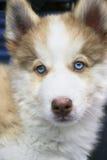 Klein puppy Siberische schor Stock Afbeeldingen