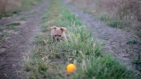 Klein puppy van chihuahua voor het eerst op een gang en het spelen in aard op het gebied stock videobeelden