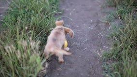 Klein puppy van chihuahua voor het eerst op een gang en het spelen in aard op het gebied stock video