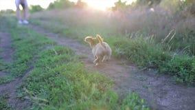 Klein puppy van chihuahua voor het eerst op een gang en het spelen in aard op het gebied stock footage