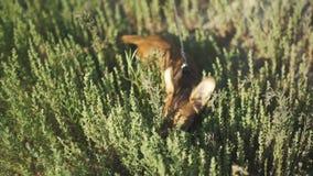 Klein puppy van chihuahua voor het eerst op een gang en het spelen in aard op het groene gras stock footage