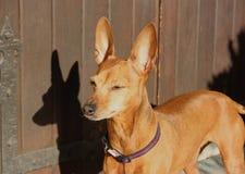 Klein puppy van hond van ras zwerg pinscher royalty-vrije stock foto