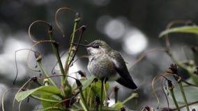 Klein rond eruit ziet weinig kolibrie in de winteronweer stock video