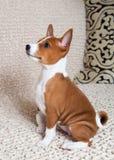 Klein rood Basenji-hondpuppy Royalty-vrije Stock Foto