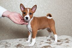 Klein rood Basenji-hondpuppy Royalty-vrije Stock Afbeeldingen