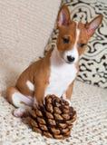 Klein rood Basenji-hondpuppy met grote cederkegel Stock Afbeeldingen