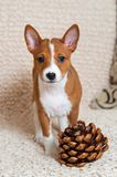 Klein rood Basenji-hondpuppy met grote cederkegel Royalty-vrije Stock Fotografie