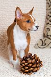 Klein rood Basenji-hondpuppy met grote cederkegel Royalty-vrije Stock Afbeeldingen
