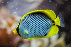 Klein`s butterflyfish, beautiful colorful fish royalty free stock photos