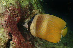 Klein's Butterflyfish, Perhentian Island, Terengganu Royalty Free Stock Images