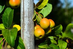 Klein, schoon, de bestuiver van de appelenappel op takken stock foto