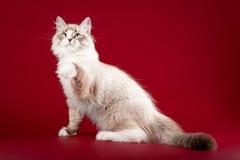 Klein sibirian katje Royalty-vrije Stock Afbeelding