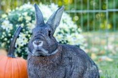 Klein tam konijn in de herfst die bij zonsondergang met pompoenen plaatsen en mums op achtergrond Royalty-vrije Stock Fotografie