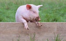 Klein varken stock afbeelding