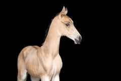 Klein veulen van een paard op zwarte achtergrond Stock Foto
