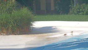 Klein vogels drinkwater en badend op de rand van openlucht zwembad stock footage