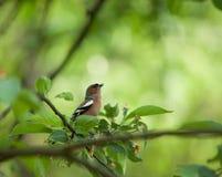 Klein vogeltje Stock Afbeelding