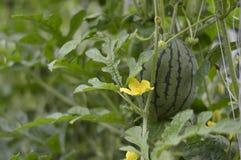 Klein watermeloenfruit op de boom stock afbeelding