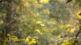 Klein wit insecten midges close-up in het bos stock video