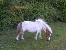 Klein wit paard Stock Afbeelding