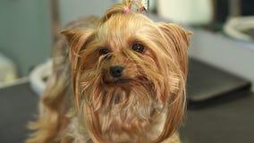Klein Yorkshire Terrier bevindt zich op een lijst in een veterinaire kliniek stock video