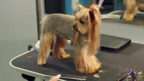 Klein Yorkshire Terrier bevindt zich op een lijst in een veterinaire kliniek Portret stock video