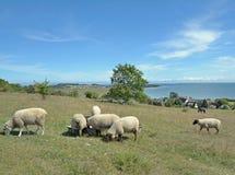 Klein Zicker op Ruegen-eiland, Oostzee, Duitsland Stock Afbeeldingen