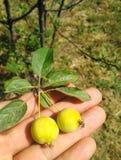 Kleine Äpfel in der Hand, weicher Hintergrund stockbild
